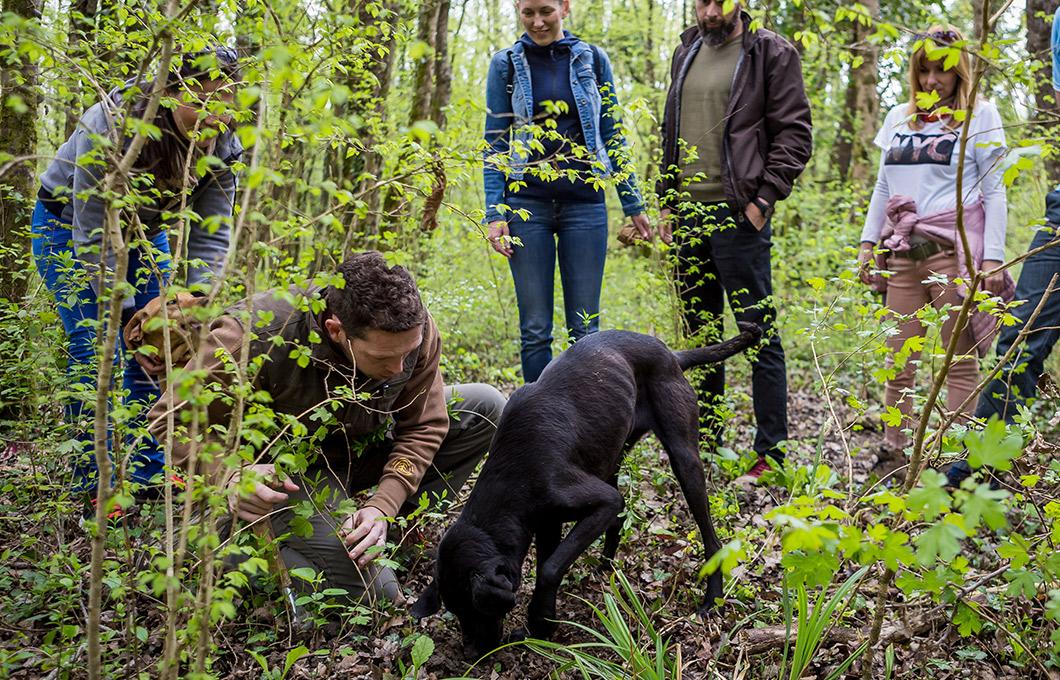 Truffle Tarandek How are truffles hunted